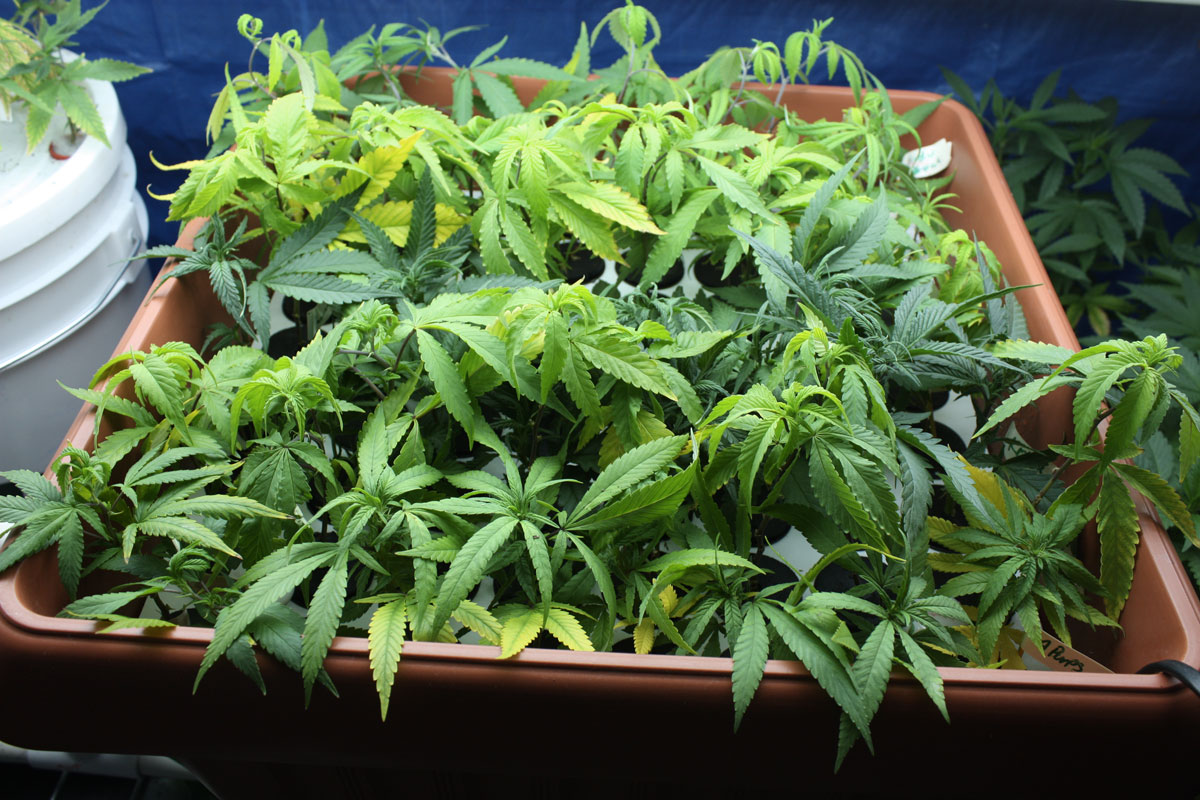 cannabis_clones_in_box