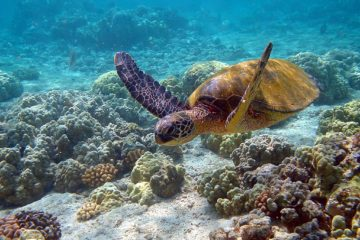 1024px-hawaii_turtle_2-2