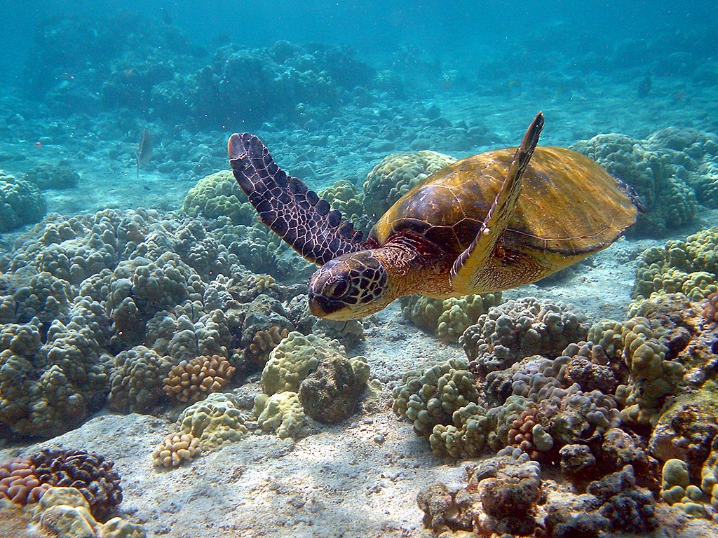 https://thesubmarine.it/wp-content/uploads/2018/06/1024px-Hawaii_turtle_2-2.jpg