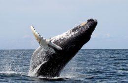1200px-humpback_stellwagen_edit