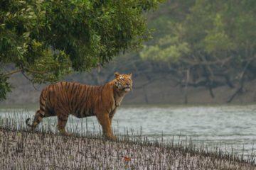 sundarban_tiger