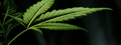 Perché è così difficile legalizzare la cannabis in Italia?